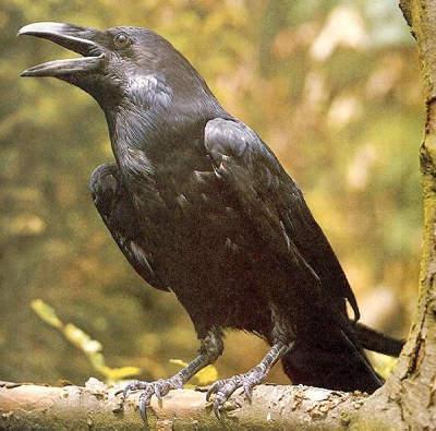 На самом же деле это совершенно разные виды птиц.  Господа Вороновы и Воронины, курИте.  Вас ничто кроме пяти.