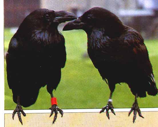 Куры, цесарки, индоутки, перепела.  Возьмём в хорошие руки, примем в дар попугаев.  Контактное лицо: Александр.