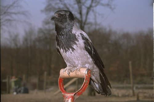 Голова, хвост и крылья черные, остальное серое.